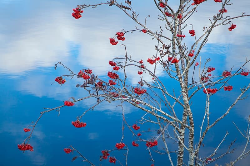 Winter rowan berries beside Lough Conn, Co Mayo, Ireland.