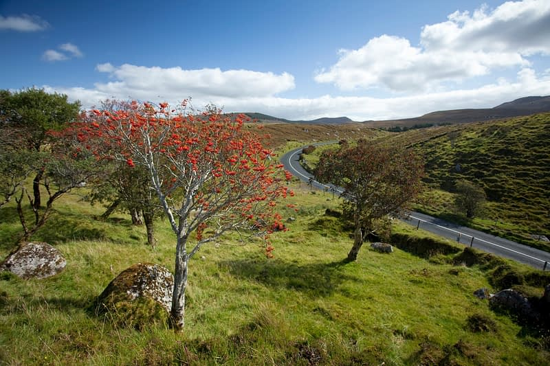 Roadside Rowan laden with berries, Ox Mountains, Co Sligo, Ireland.