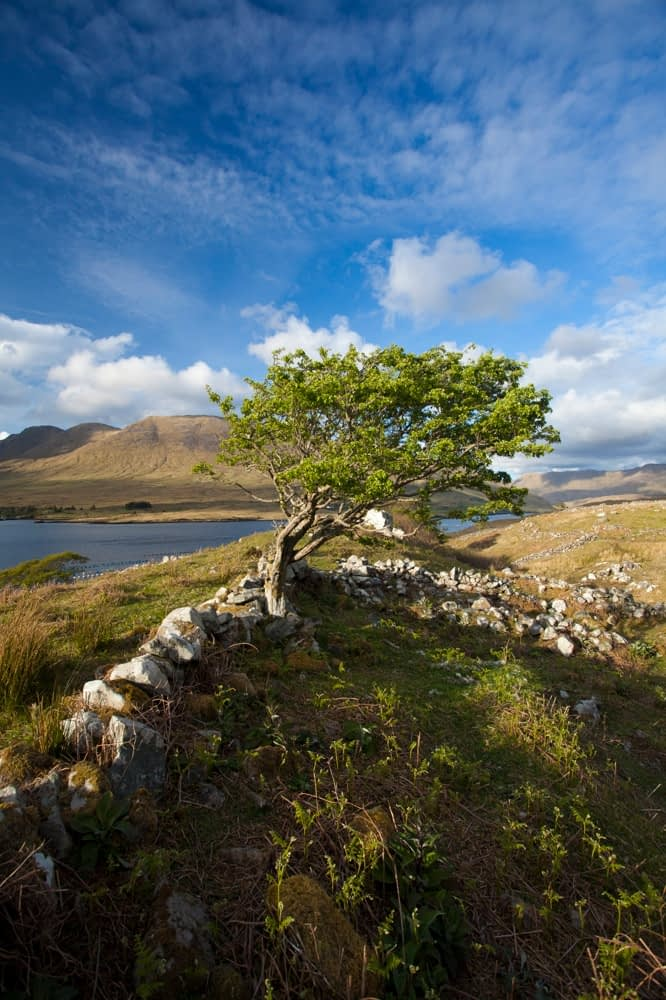 Wind-bent hawthorn on a hillside above Killary Harbour, Connemara , County Galway, Ireland.