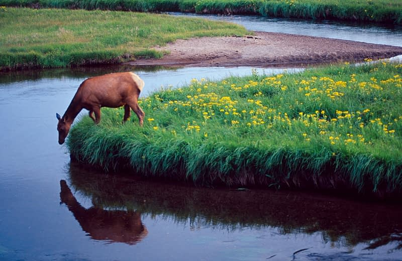 Elk beside a river, Yellowstone National Park, Wyoming, USA.
