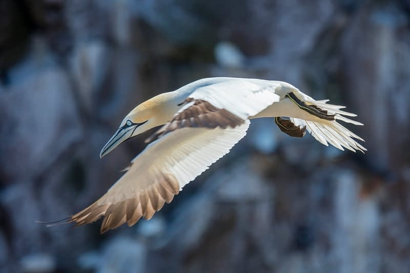Flying gannet, Great Saltee Island, County Waterford, Ireland.