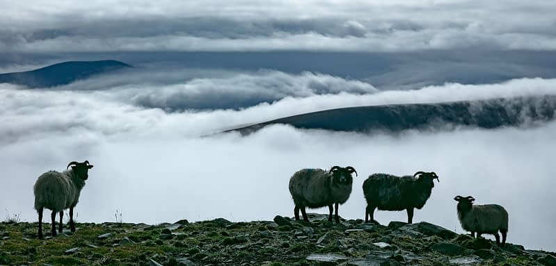 Sheep above a bank of fog, Achill Island, County Mayo, Ireland.
