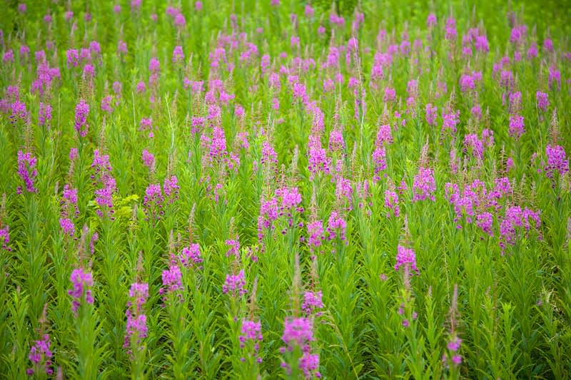 Meadow of Rosebay Willowherb or fireweed, Co Antrim, Northern Ireland.