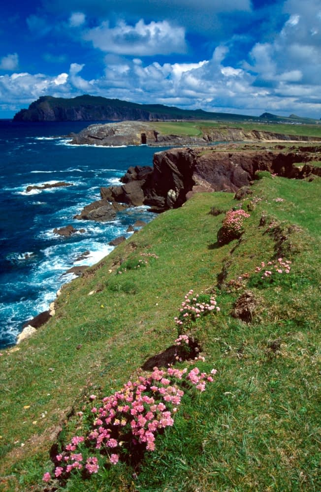 Thrift and coastal scenery, Dingle Peninsula, Co Kerry, Ireland.