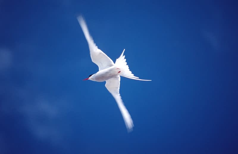 Arctic Tern in flight, Co Donegal, Ireland.
