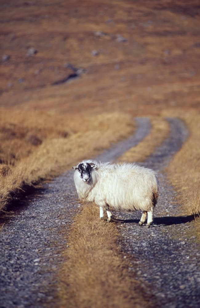 Sheep and bog road, Co Donegal, Ireland.