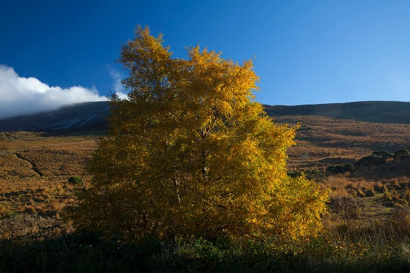 Autumn birch tree in Glenhest, Co Mayo, Ireland.