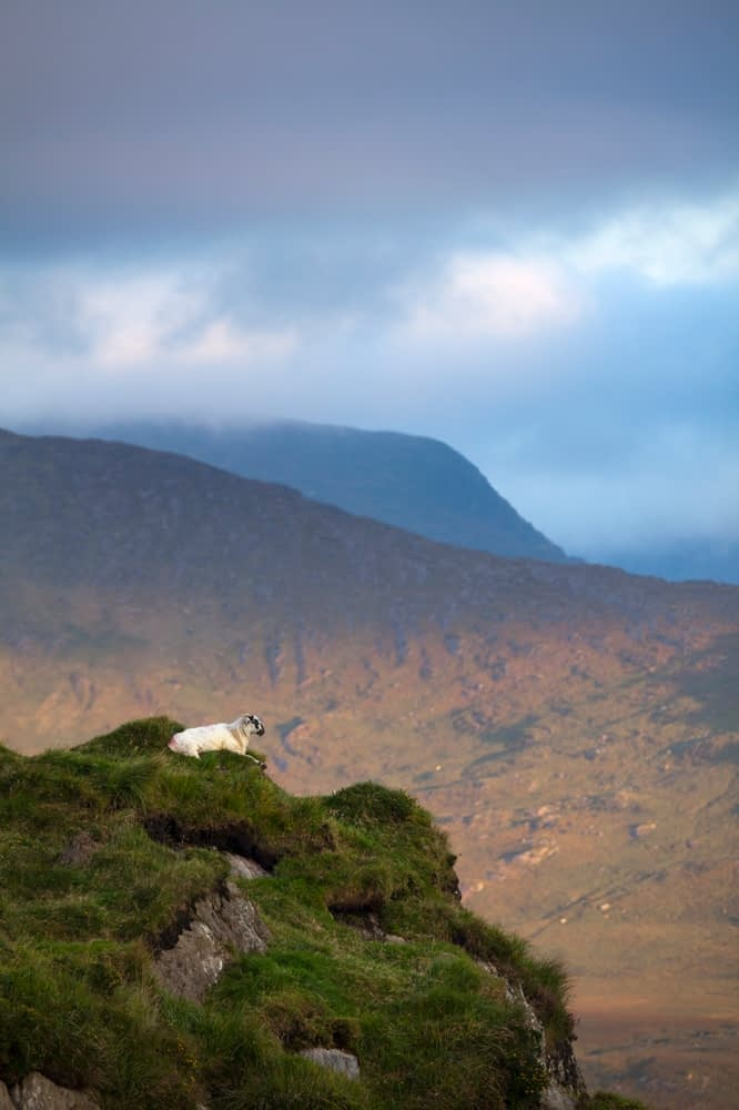 Sheep looking across the Black Valley from Moll's Gap, County Kerry, Ireland.