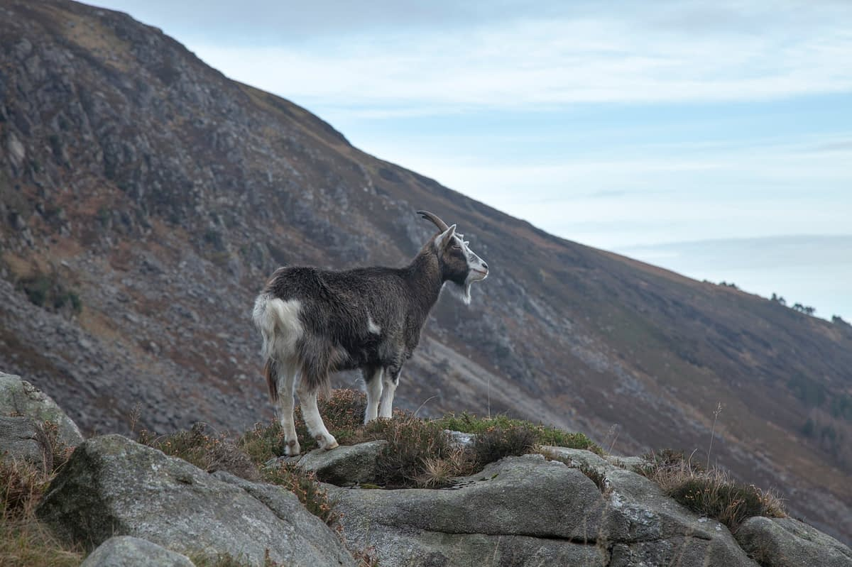 Feral goat in the upper Glendalough valley, Wicklow Mountains National Park, County Wicklow, Ireland.
