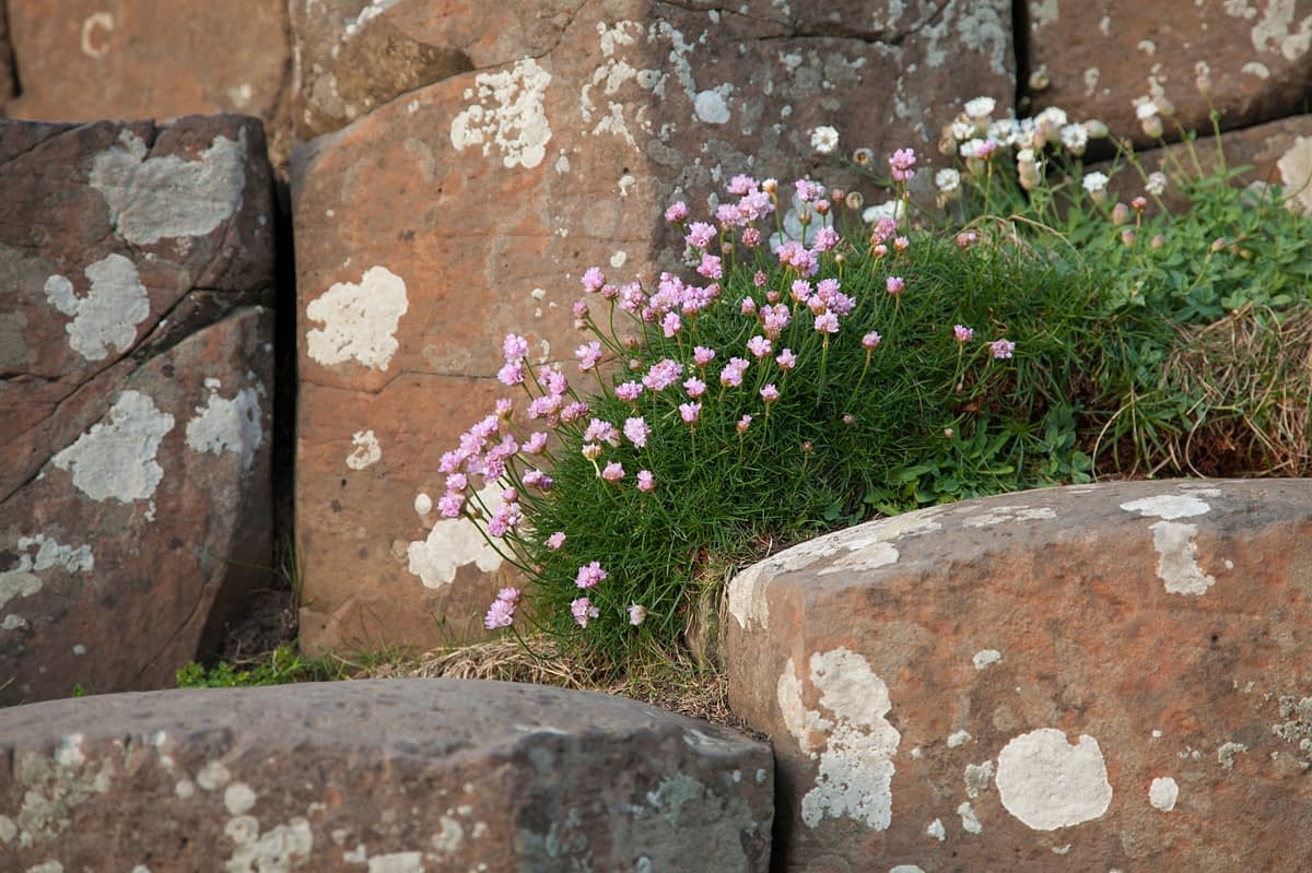 Thrift (sea pink) growing between the columns of the Giant's Causeway, Causeway Coast, County Antrim, Northern Ireland.