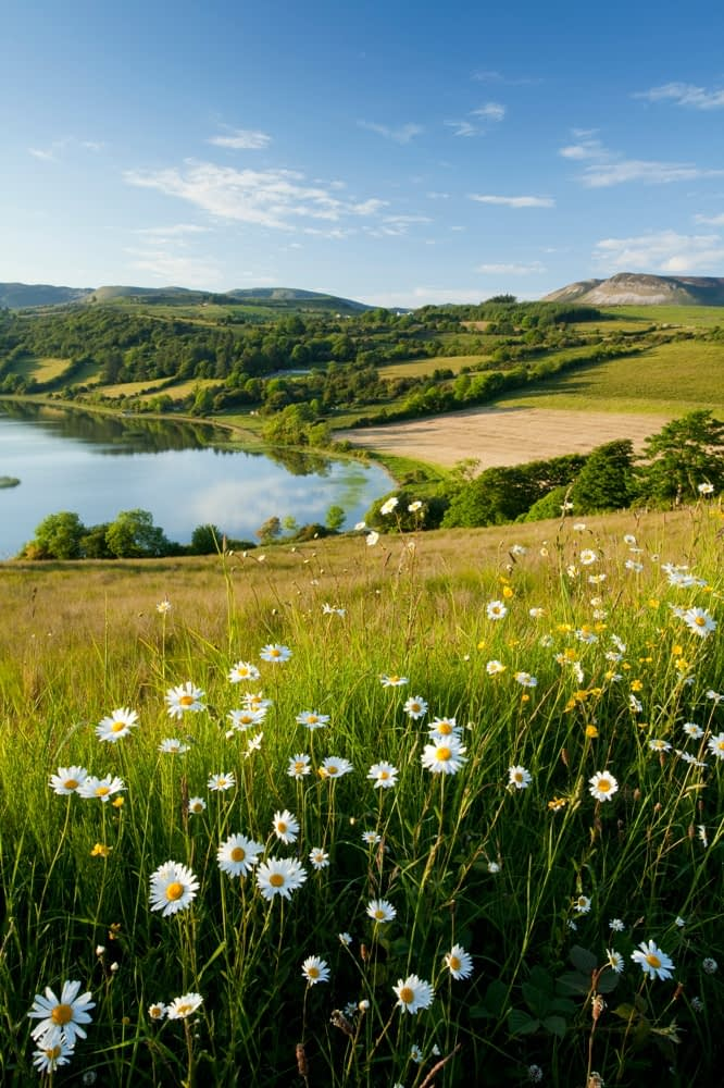 Ox Eye daisies above Colgagh Lough, Co Sligo, Ireland.