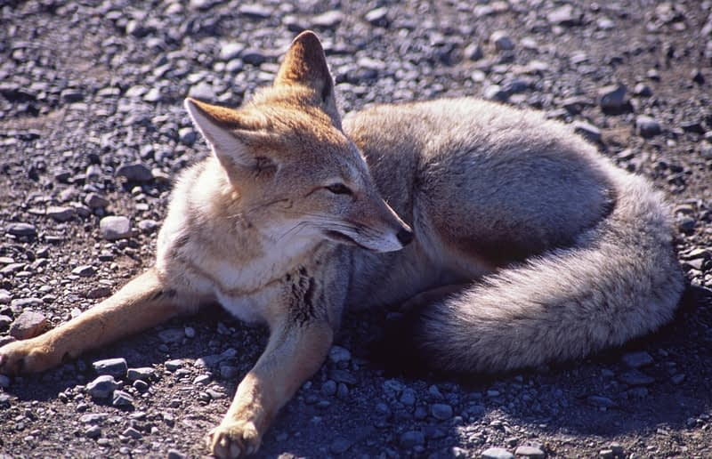 Azaras Fox resting in the sun, Torres del Paine National Park, Patagonia, Chile.