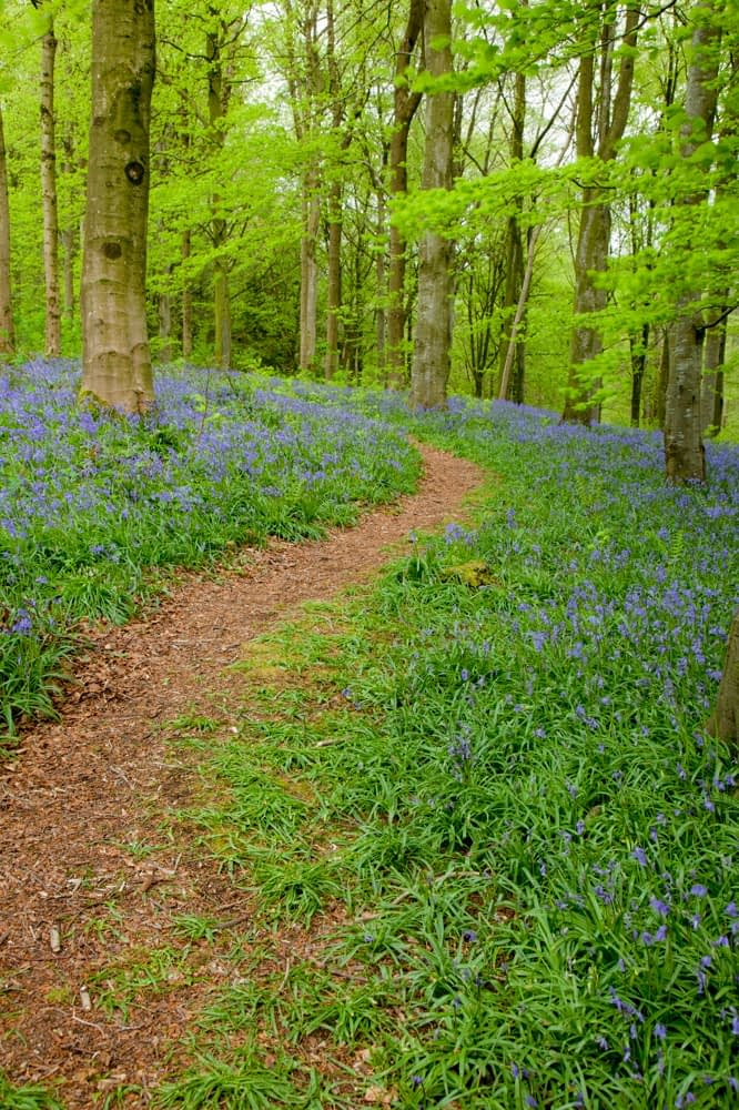 Footpath through bluebells and beech woodland, Portglenone Forest, County Antrim, Northern Ireland.
