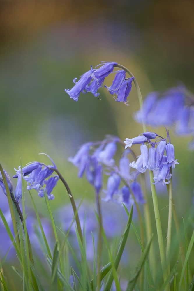 Spring bluebells, Co Fermanagh, Northern Ireland.