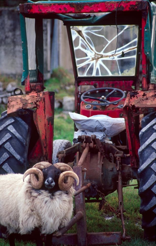 Ram and tractor, County Mayo, Ireland.