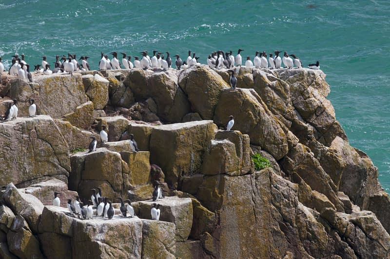 Guillemot colony, Great Saltee Island, County Waterford, Ireland.