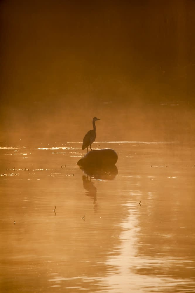 Heron and dawn mist, Lough Ree, River Shannon, County Westmeath, Ireland.