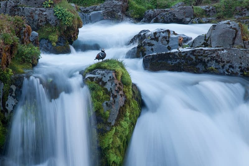 Harlequin duck on the lip of Kirkjufell waterfall, Grundarfjordur, Snaefellsnes Peninsula, Vesturland, Iceland.