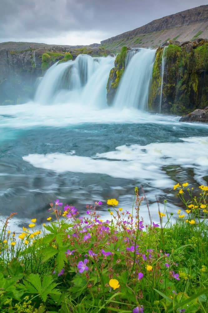 Wildflowers beside Baejarfoss or Sjoarfoss waterfall, beneath Dynjandi. Westfjords, Iceland.