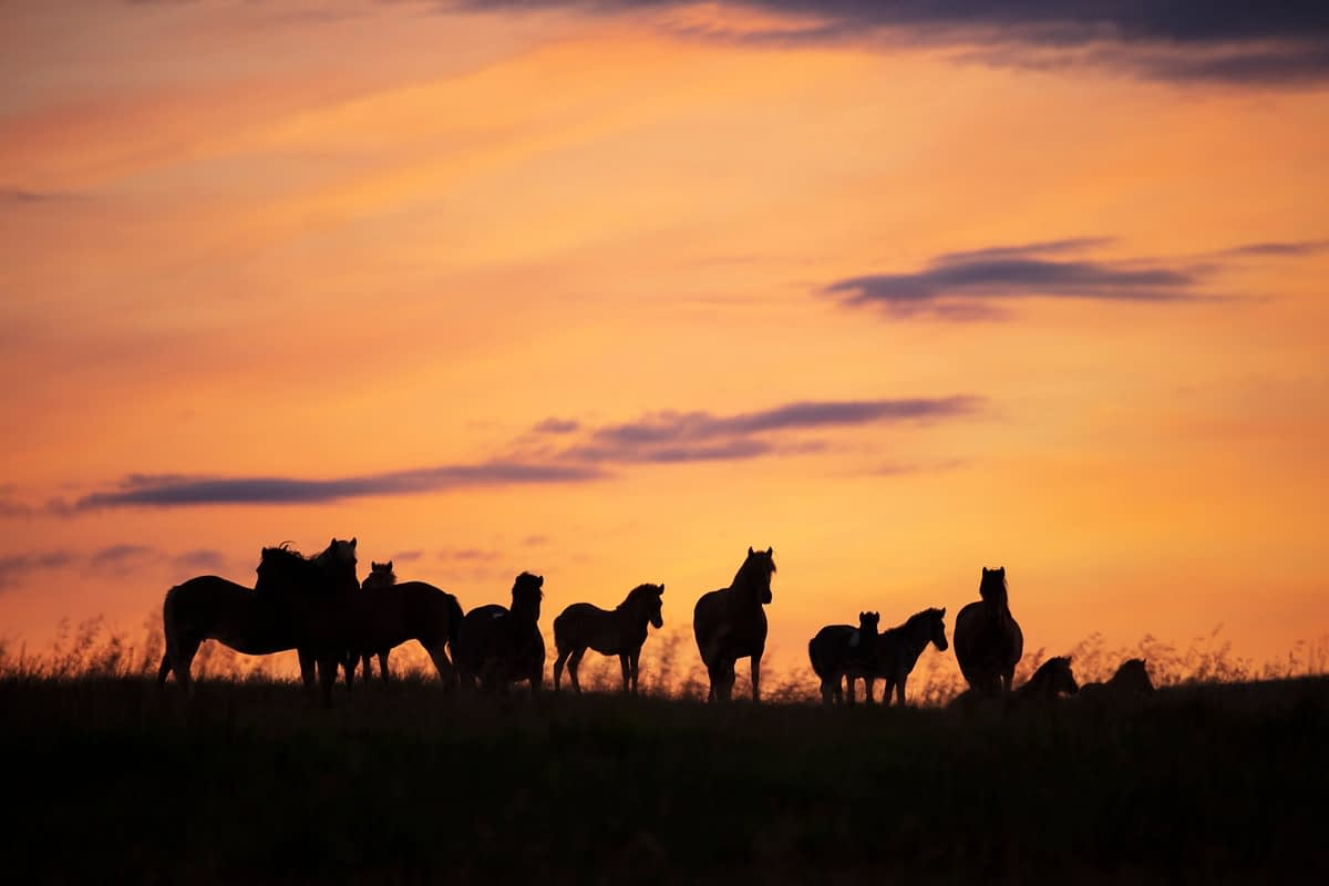 Herd of Icelandic horses silhouetted at sunset. Hella, Sudhurland, Iceland.