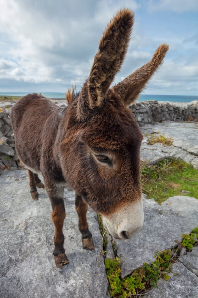 Donkey on the limestone pavement of The Burren, County Clare, Ireland.