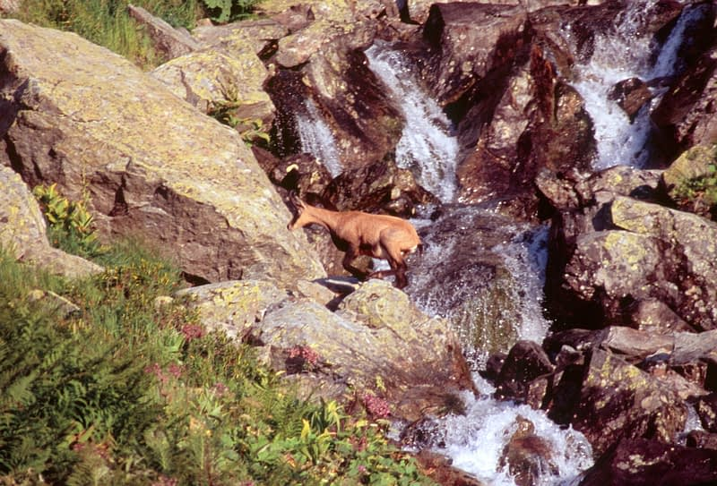 Chamois crossing a mountain stream, Chamonix Valley, French Alps, France.