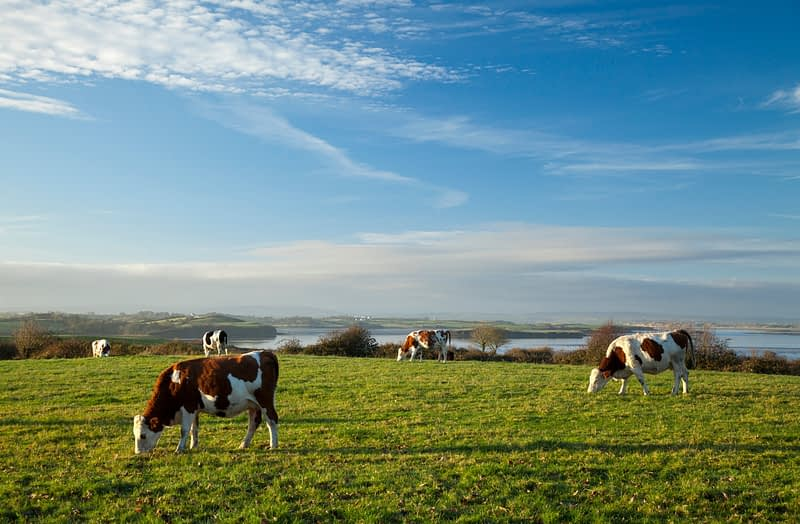 Cattle grazing on the banks of the River Moy, County Sligo, Ireland.