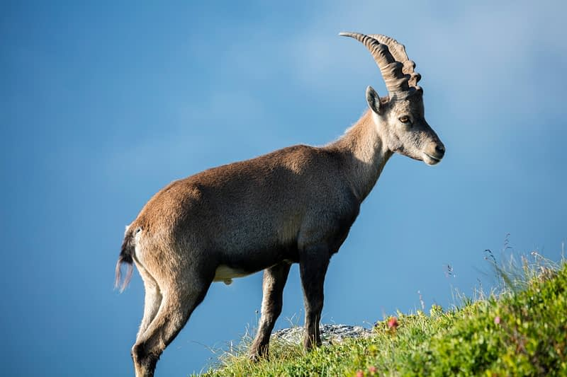Male ibex, Chamonix Valley, French Alps, France.