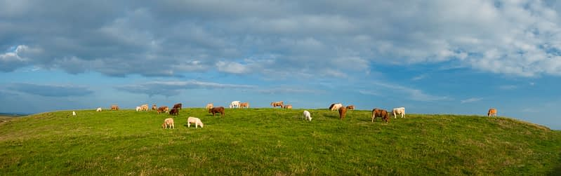Cattle grazing in a field, County Clare, Ireland.