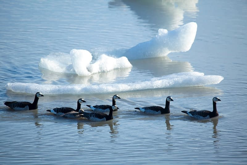 Barnacle geese and chick in Fjallsarlon iceberg lagoon, Sudhurland, Iceland.