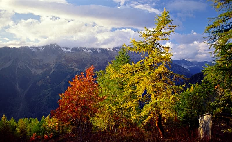 Autumn trees beneath the Aiguilles Rouges, Chamonix Valley, French Alps, France.