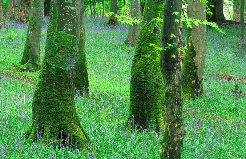 Spring bluebells carpet a woodland, Killarney National Park, Co Kerry, Ireland.
