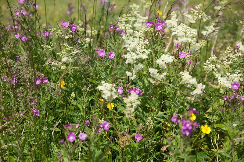 Meadowsweet and Great Willowherb fill a summer meadow, Co Down, Northern Ireland.