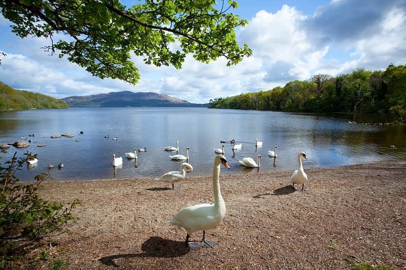 Swans on the shore of Lough Gill, Hazelwood, Co Sligo, Ireland.