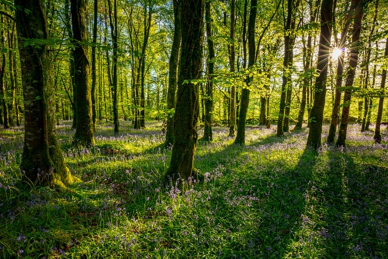 Spring bluebells and beach woodland, Cootehall, County Roscommon, Ireland.