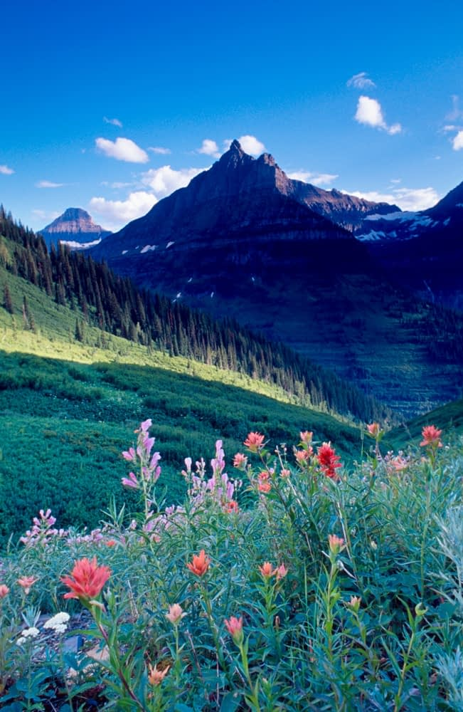 Wildflowers beneath Logan Pass, Glacier National Park, Montana, USA.