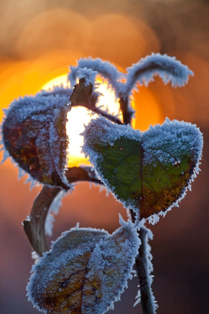 Frosted leaves and winter sunset, Co Sligo, Ireland.
