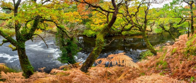 Sessile oak on the banks of the Owenmore River, Erriff Woods, County Mayo, Ireland.