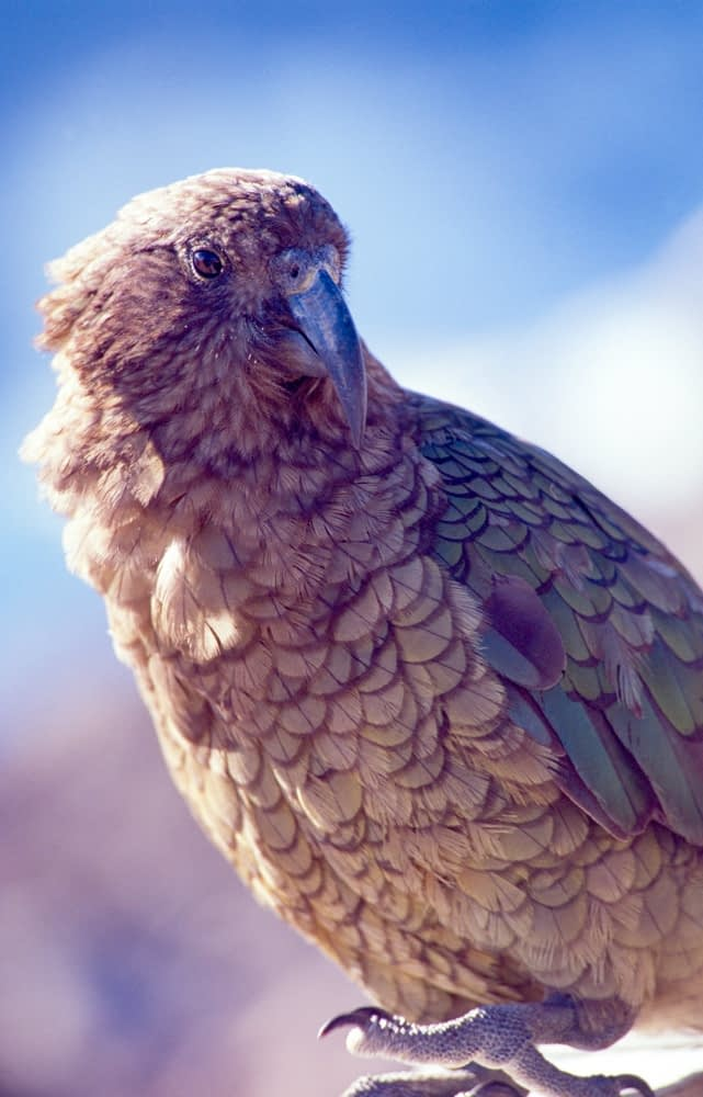 A Kea, the worlds only alpine parrot, New Zealand.