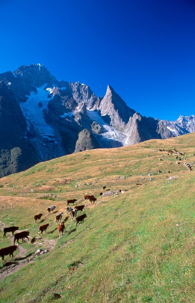 Cow herd beneath the south face of Mont Blanc, TMB, Italian Alps, Italy.