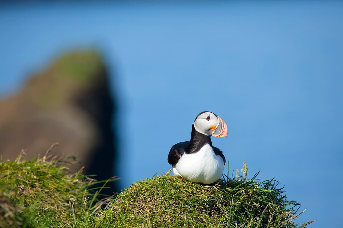 Puffin on Heimaey island, Westman Islands, Sudhurland, Iceland.