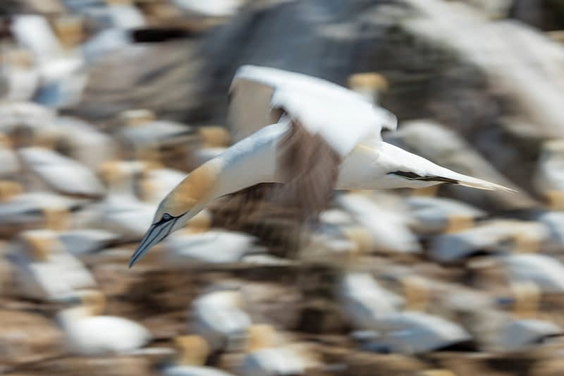 Gannet colony on Great Saltee Island, County Waterford, Ireland.