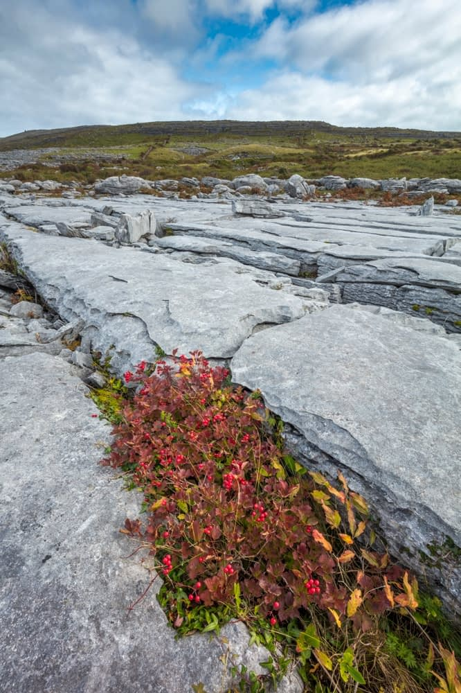 Guelder rose growing in a grike between limestone pavement, The Burren, County Clare, Ireland.