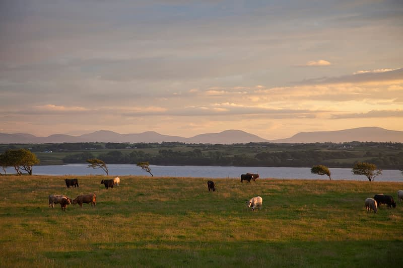 Evening cattle beside the River Moy, Co Sligo, Ireland.