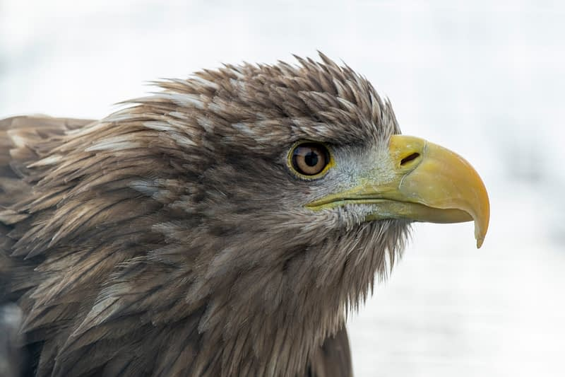 White Tailed Sea Eagle, Burren Birds of Prey Centre, County Clare, Ireland.