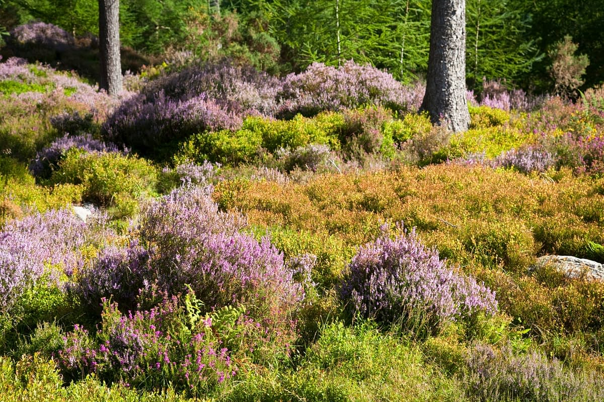 Purple heather and forest, Glendalough, Wicklow Mountains National Park, Co Wicklow, Ireland.
