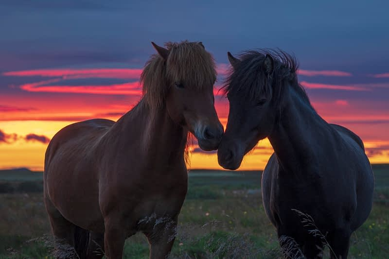 Pair of Icelandic horses at sunset. Hella, Sudhurland, Iceland.