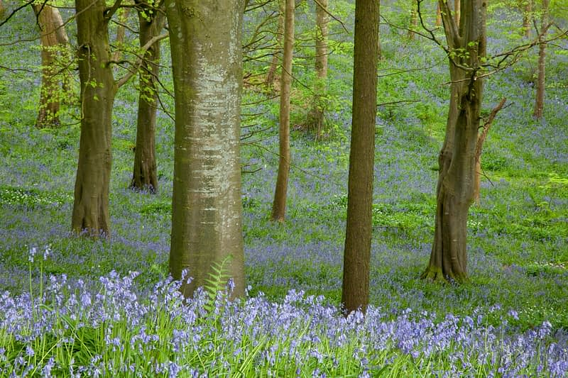 Bluebells and beech woodland, Portglenone Forest, County Antrim, Northern Ireland.