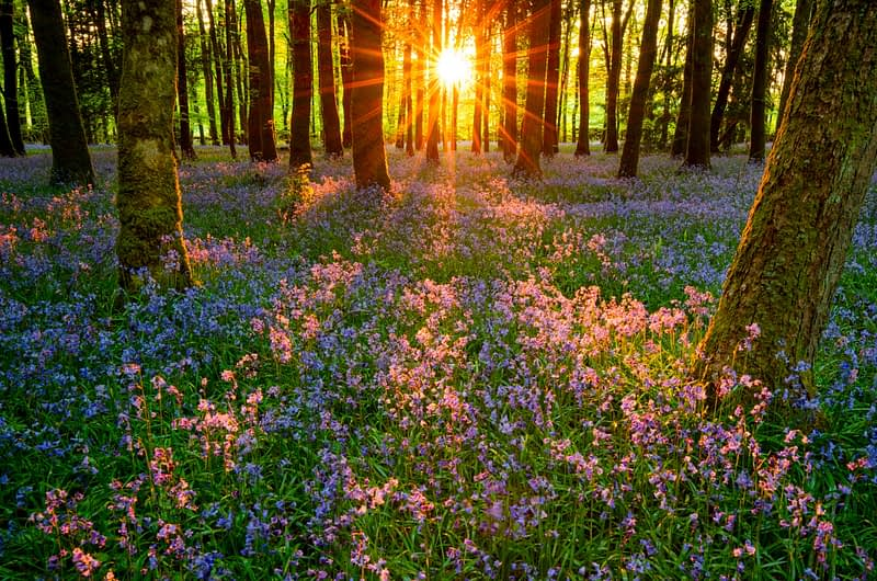 Evening sun and bluebell woodland, Cootehall, County Roscommon, Ireland.