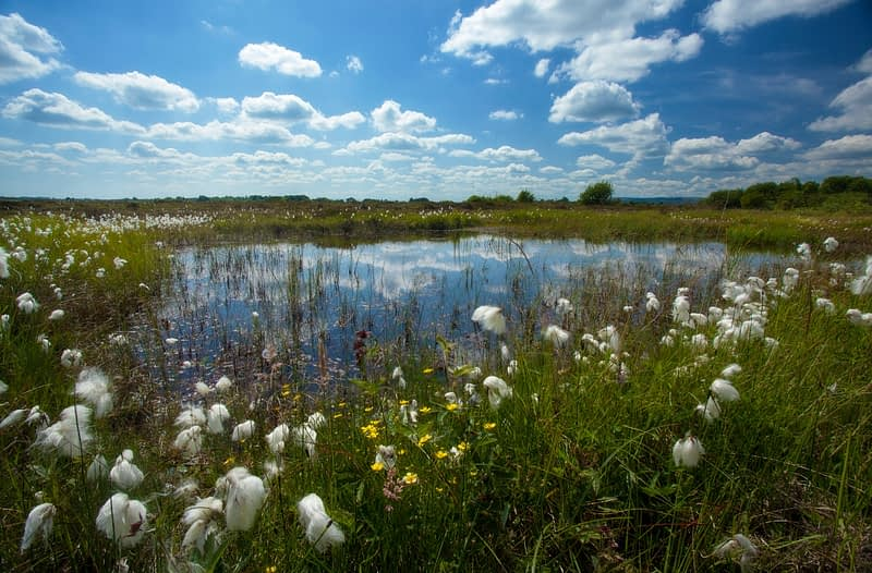 Bog pool surrounded by bog cotton, Kiltimagh, County Mayo, Ireland.
